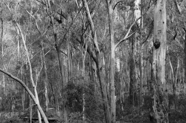 Megalong Trees 9 bw